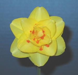 'Tahiti' Daffodil