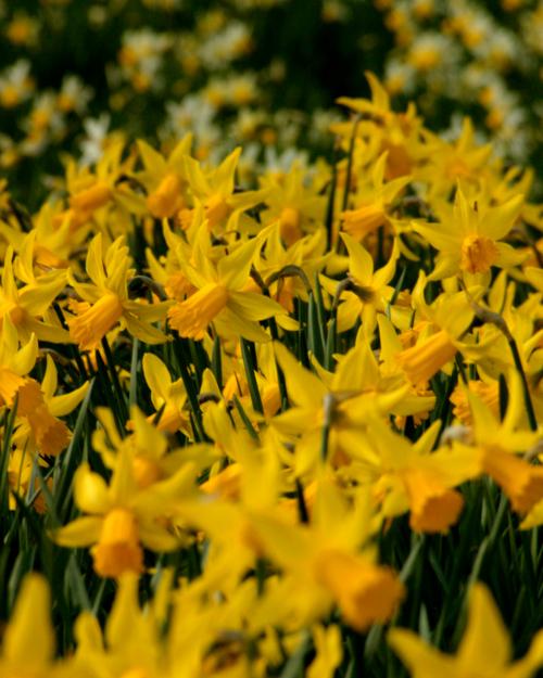 Naturalized Daffodil