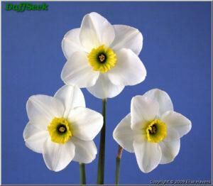 'Cedar Hills' Daffodil