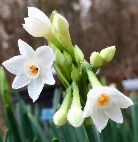 Tazetta Daffodil