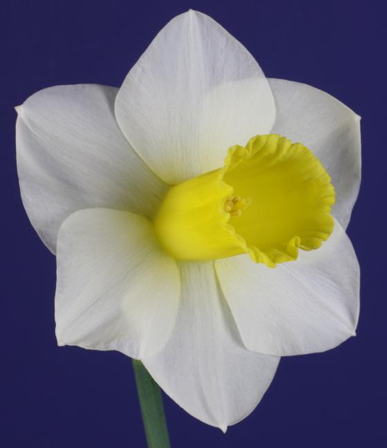 Smooth Trumpet Daffodil